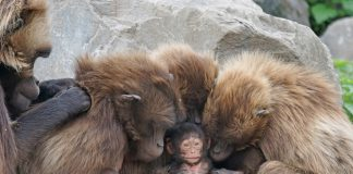 Más de la mitad de los primates del mundo están en peligro de extinción. Imagen de archivo.