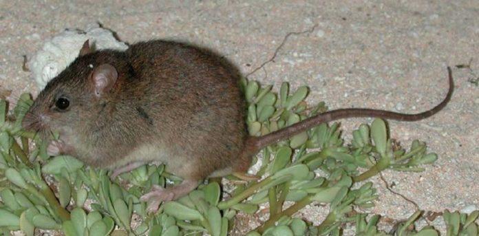 La especie desaparecida es la Melomys rubicola. theconversation.com