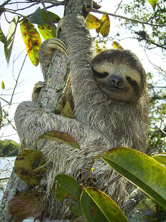pygmy-sloth-62869_960_720