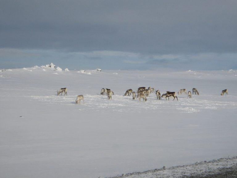 En Siberia sacrificarán 250 mil renos por brote de ántrax