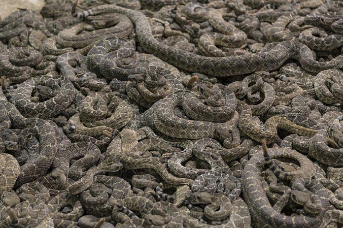 Serpientes de cascabel. Imagen de archivo.