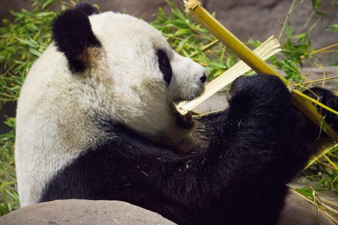 La única oso panda de Reino Unido está embarazada. Imagen de archivo.